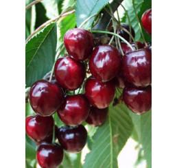 Prunus avium ´Karešova´ / Třešeň, Colt