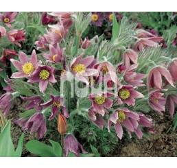 Pulsatilla vulgaris / Koniklec obecný , K9