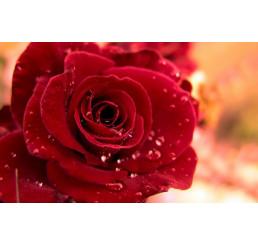 Rosa ´Queen of Bermuda´ / Růže čajohybrid červená, keř, BK