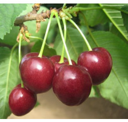Prunus avium ´Regina´ / Třešeň, Colt