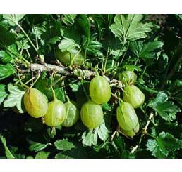 Ribes grossularia ´Prima´ / Angrešt rezistentní, stromek, VK, 2-3 výh.