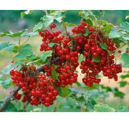 Ribes rubrum ´Junifer´ / Rybíz červený, ker, 4-5 výh., VK