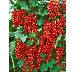 Ribes rubrum ´Stanza´ / Rybíz červený, keř, 2-3 výh., VK