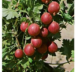Ribes grossularia ´Kamenar´ / Angrešt rezistentní, keř, 4-5 výh., VK