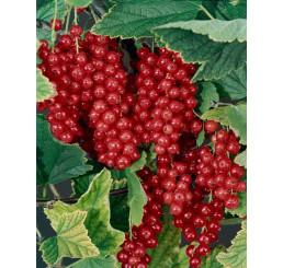 Ribes rubrum ´Maraton´ / Rybíz červený, keř 2-3 výh., VK