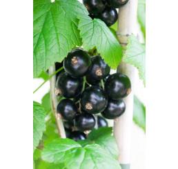 Ribes nigra ´Bona´ / Rybíz černý, keř, 4-5 výh., VK