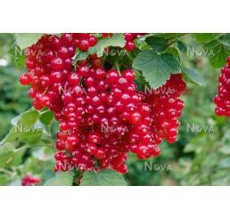 Ribes rubrum ´Red Lake´ / Rybíz červený, keř, 2-3 výh.