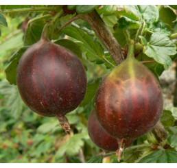 Ribes grossularia ´Rolonda´ / Angrešt červený rezistentní, stromek, 2-3 výh., VK