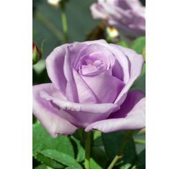 Rosa ´Lady X´ / Růže čajohybrid, keř, BK