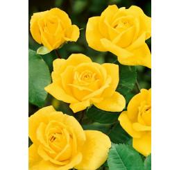Rosa ´Arthur Rio´ / Růže mnohokvětá žlutá, keř, BK