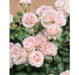 Rosa ´Clg. Cairo´ / Růže popínavá, keř, BK