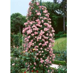 Rosa ´Clg. Coral Dawn´ / Růže popínavá, keř, BK