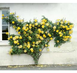 Rosa ´Clg. Golden Sove´ / Růže popínavá, keř, C2,5