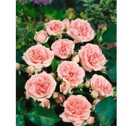 Rosa ´Clg. Kimono´ / Růže popínavá, keř, BK