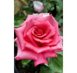 Rosa ´Luzia Nistler´ / Růže čajohybrid, keř, C2,5