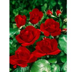 Rosa ´Satchmo´ / Růže mnohokvětá sytěčervená, keř