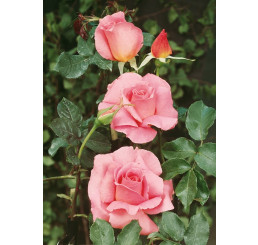 Rosa ´Sultane´ / Růže čajohybrid, keř, BK