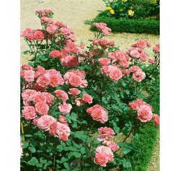 Rosa ´Tom-Tom´ / Růže mnohokvětá, keř, C3