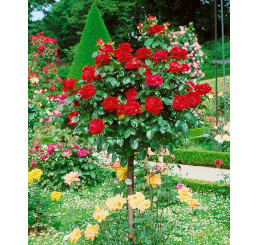 Rosa ´Chrysler Imperial´ / Růže čajohybrid, STROMEK 120 cm, BK