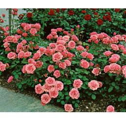 Rosa ´Kimono´ / Růže mnohokvětá růžová, keř, BK