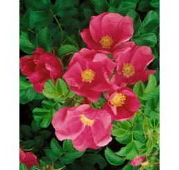 Rosa rugosa / Růže svraskalá, bal. 10 ks VK na živý plot