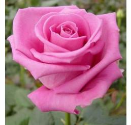 Rosa ´Aquatica´ / Růže čajohybrid, keř, BK