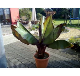 Ensete ventricosum cv. maurellii / Červenolistý banánovník, C2