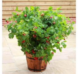 Rubus idaeus 'Ruby Beauty®' / Malina červená, K12