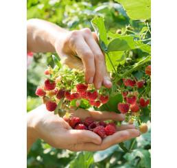 Rubus idaeus ´Bohéme´  / Maliník červený, K11