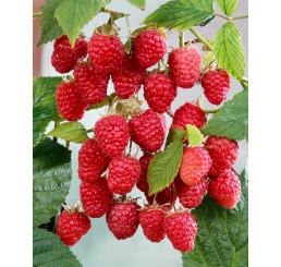 Rubus idaeus ´Gordosť Rossi´ / Maliník červený, K11