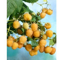 Rubus idaeus ´Valentina´ / Maliník červený, K11