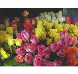 Rosa mix / Kolekce ušlechtilých růží, bal. 5 keříků, 5xBK