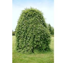Salix caprea ´Kilmarnock´ / Vrba jíva, 180 cm kmínek, C7,5