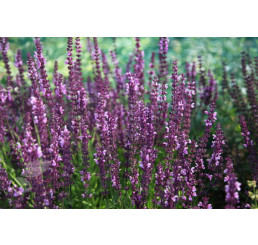 Salvia superba ´Rose Queen´ / Šalvěj nádherná, K9