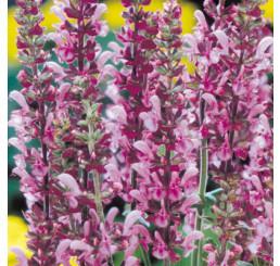 Salvia x superba ´Lyon Rose´ / Šalvěj, C1,5