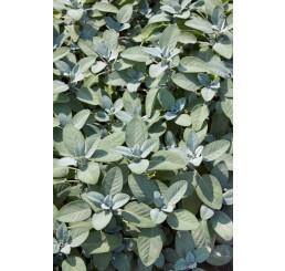 Salvia officinalis ´Culinaria´ / Šalvěj, 15-20 cm, K9