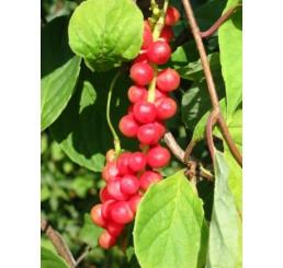 Schisandra chinensis / Klanopraška čínská, C2
