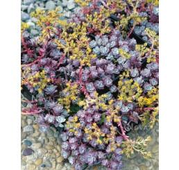 Sedum spathulifolium ´Purpureum´ / Rozchodník , C1,5