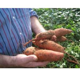 BIO Ipomoea batata / Sladký brambor, K12