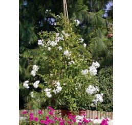 Solanum jasminoides / Lilek jasmínokvětý, K7
