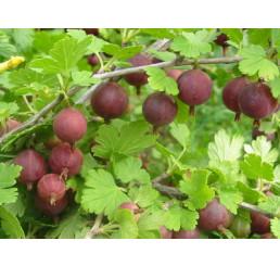 Ribes grossularia ´Spinefree´ / Angrešt červený beztrný, 20-30 cm, keř, C2