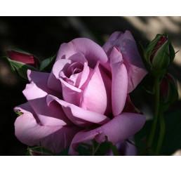 Rosa ´Sterling´ / Růže čajohybrid fialová, keř, BK