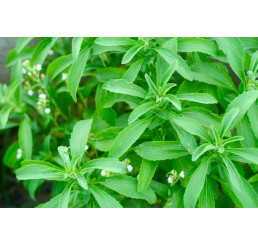 Stevia rebaudiana ´Improved Compact´ / Stévie cukrová, K9