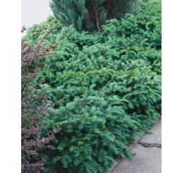 Taxus bacc. ´Repandens´ / Tis červený, 20-30 cm, C4,5