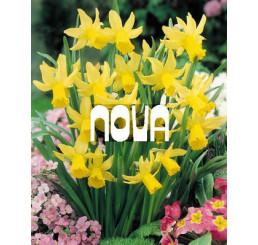 Narcis ´February Gold´, bal. 5 ks, 12/14