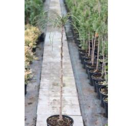 Thuja plicata ´Whipcord´/ Zerav řasnatý, km. 80 cm, C7,5