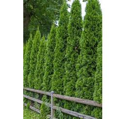 Thuja occidentalis ´Smaragd´ / Zerav smaragdový, 30-40 cm, C2