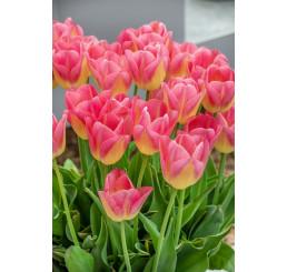 Tulipa ´Tom Pouce´ / Tulipán, bal 5 ks, 11/12