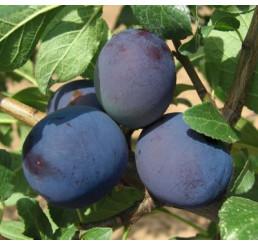 Prunus domestica  ´Tophit´ / Slivoň podzimní velkoplodá, wangenh.