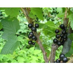 Ribes nigra ´Triton´ / Rybíz černý, keř, 2-3 výh.